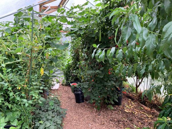 Bild inifrån ett väldigt grönt och frodigt tunnelväxthus.