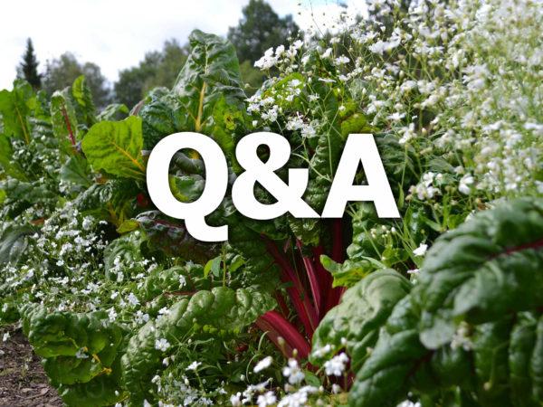 En vacker plantering med mangold och sommarslöja, samt texten Q&A på.