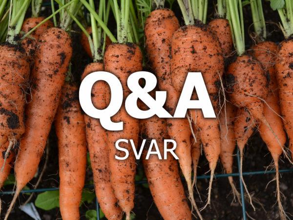 Jordiga morötter ligger på rad och över dem står texten Q&A svar.