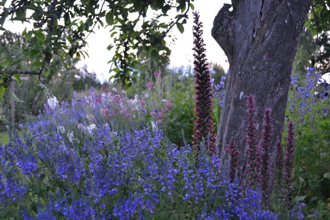 En blommande blå rabatt.