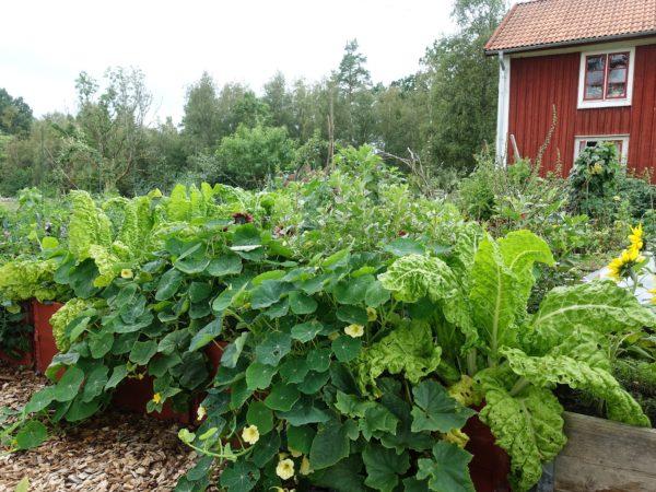 En frodig grön köksträdgård i upphöjda pallkragar.