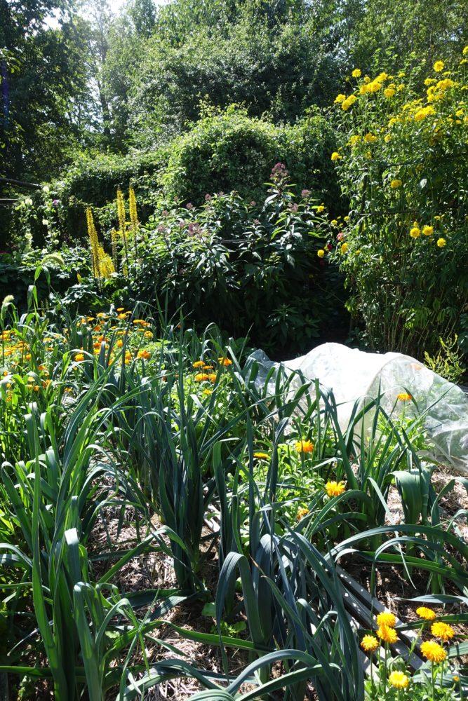 En frodig köksträdgård där purjolök i land omges av höga perenner som blommar i gult.