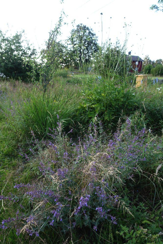 Massor av ogräs och några gamla perenner. New garden beds, weeds and a few old flowers.