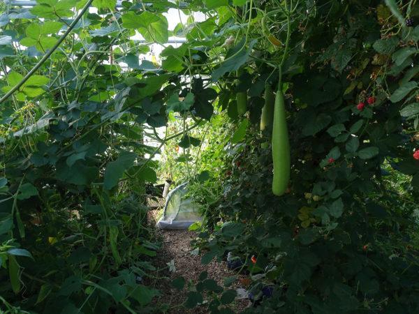 Inuti tunnelväxthuset är det frodigt och hänger björnbär och kalebass.