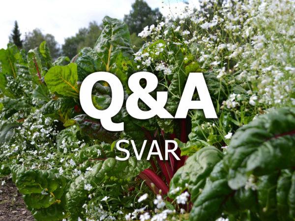 En vacker plantering med mangold och sommarslöja, samt texten Q&A svarpå.