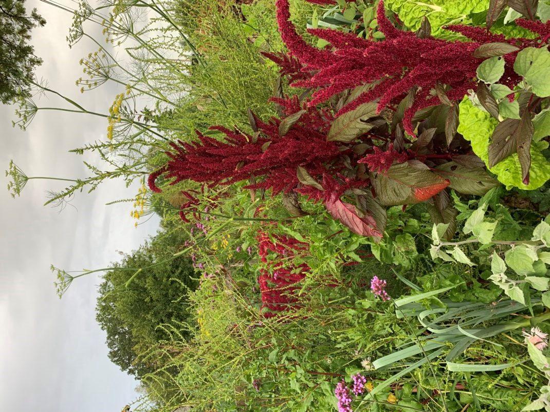 Höga växter som blommar i olika färger.
