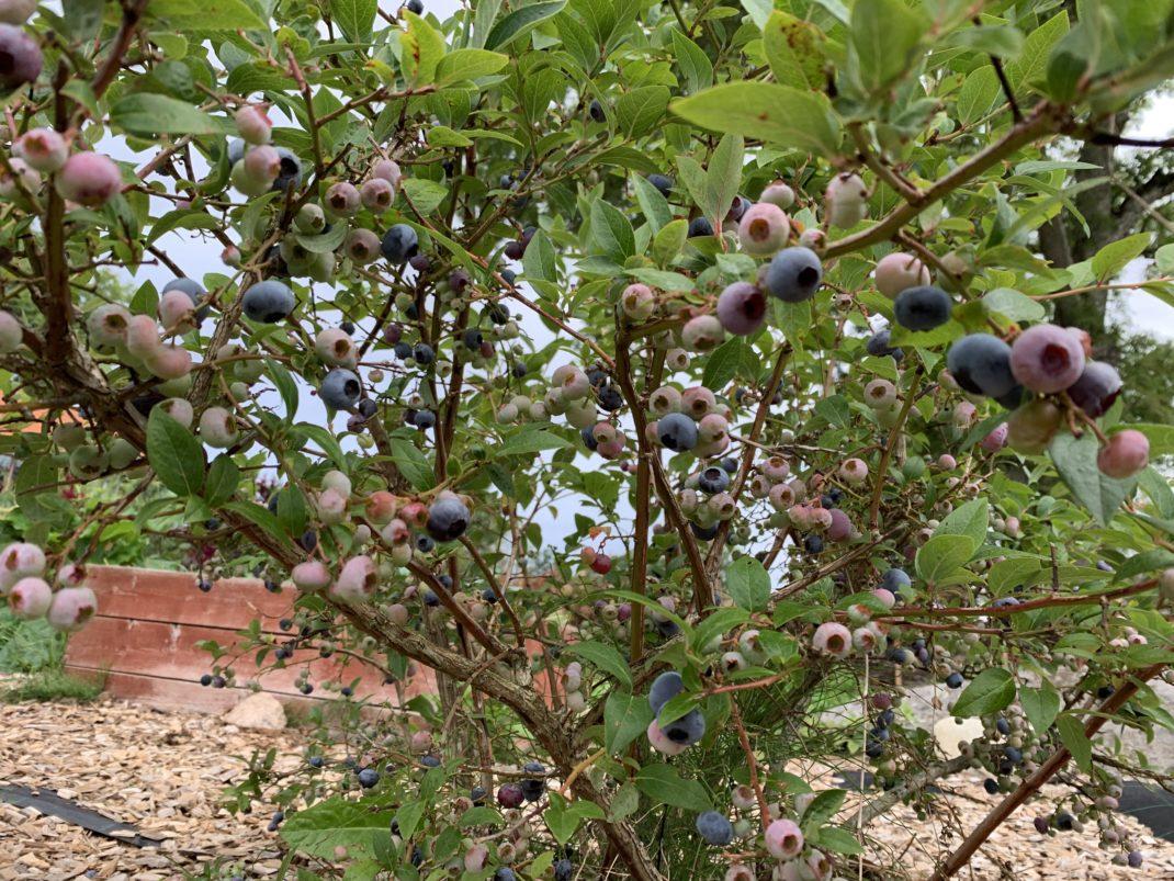 Närbild på blåbärsbuske