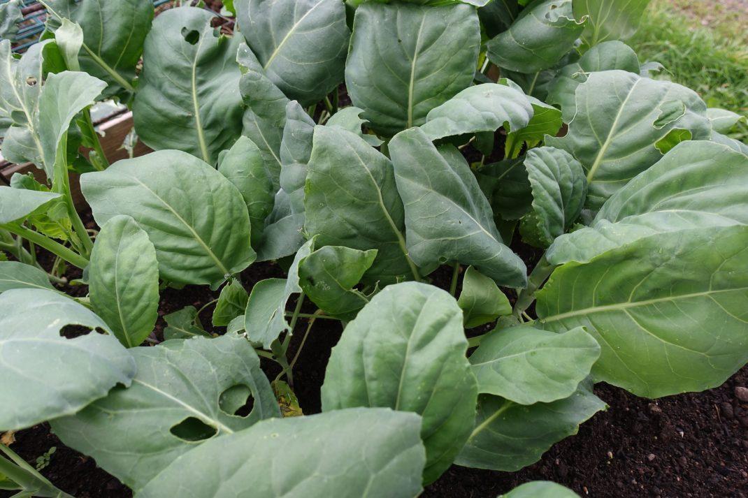 Gröna blad som står tätt tillsammans i en pallkrage.