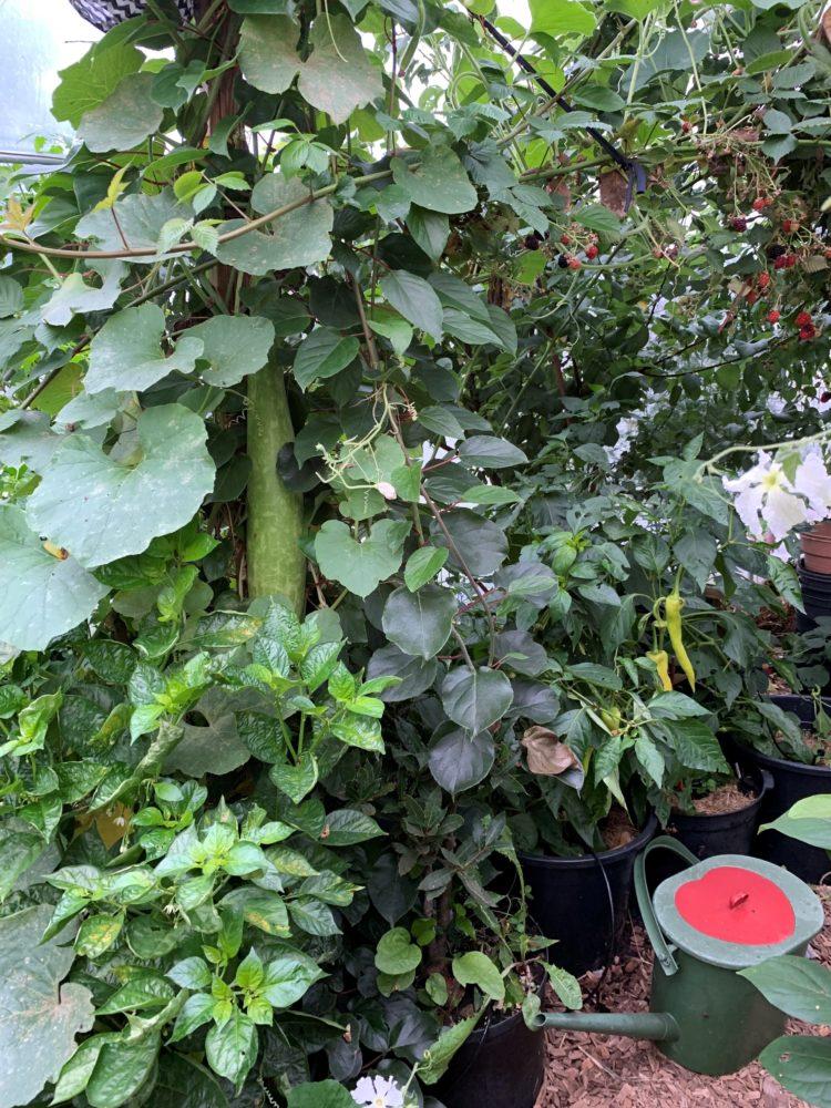 Stående bild på höga gröna växter i tunnelväxthus