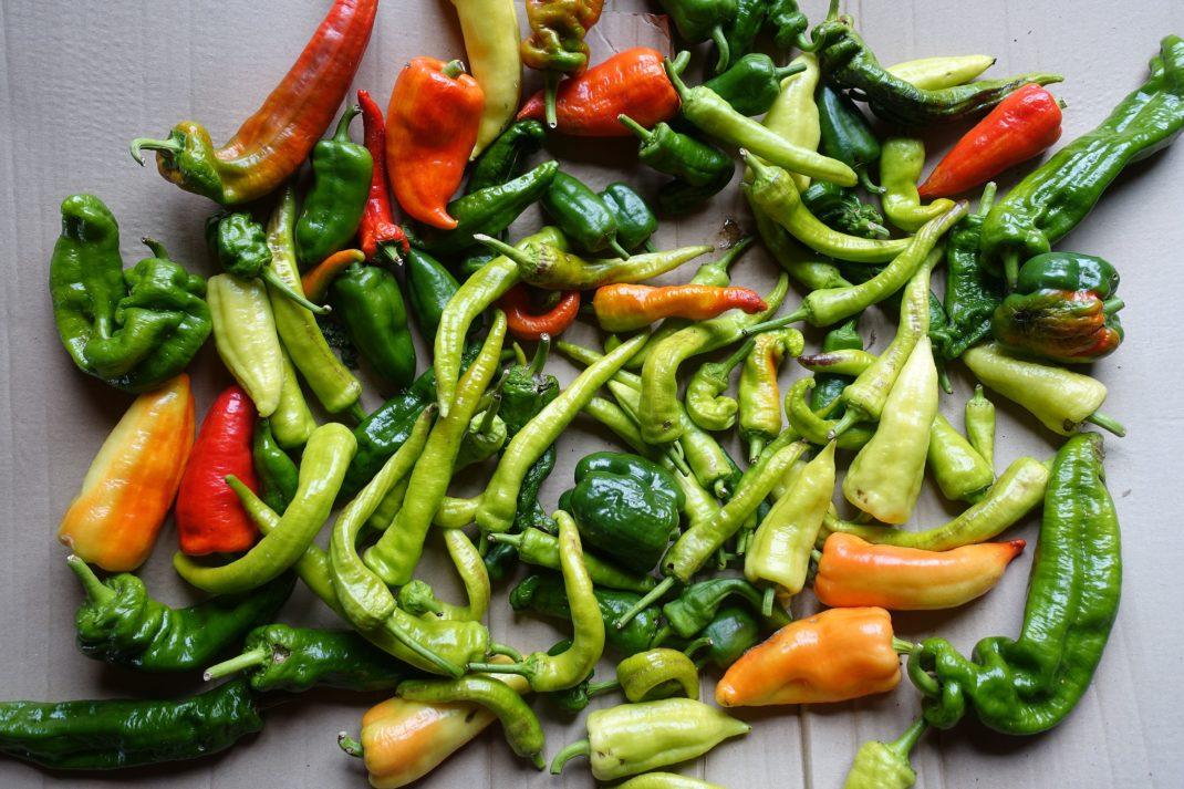 Mogna och omogna paprikor ligger på en kartong. Ripe and unripe bell peppers.