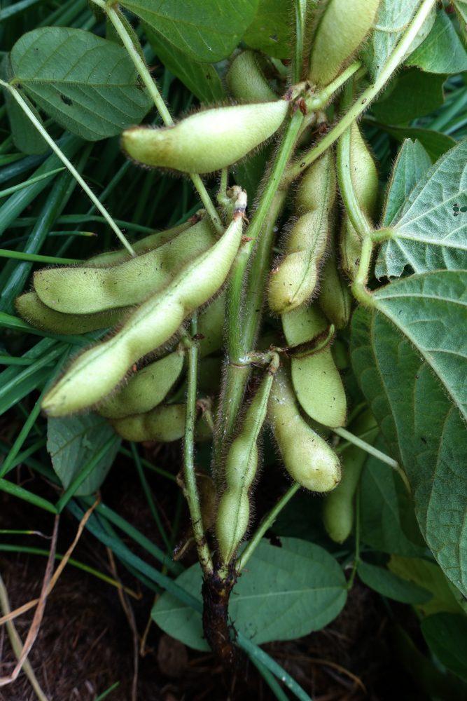 Närbild på bönor som hänger på en planta.