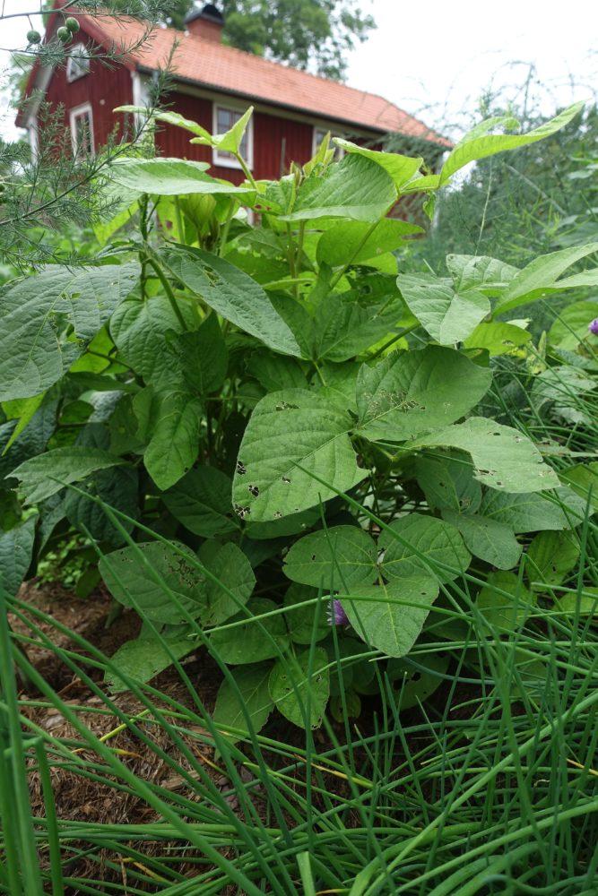 En låg bönplanta bredvid andra växter i köksträdgården.