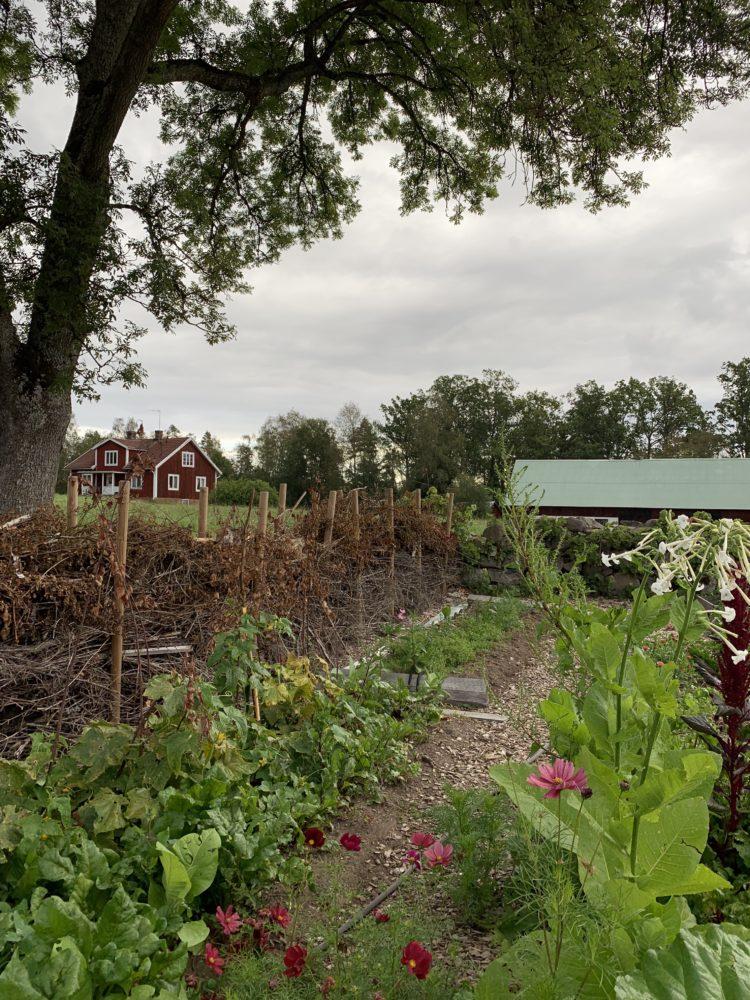 En odlingsbädd med ett staket av grenar bakom.