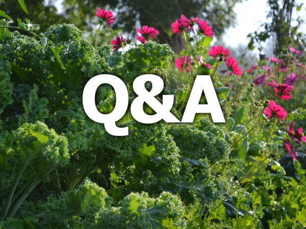 Vacker grönkål och rosa rosenskäror med texten Q&A över.