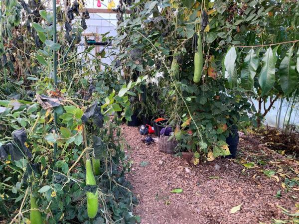 I tunnelväxthuset börjar grönsakerna vissna inför hösten men nya tar plats.