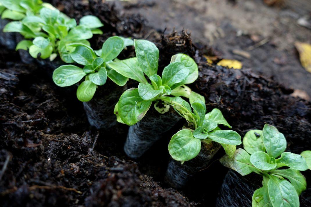 Närbild på en rad med små plantor av vintersallat som står på rad i jorden.