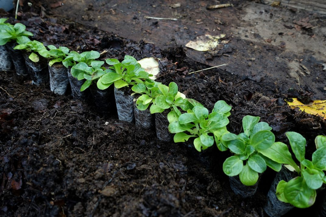Gröna tussar av blad från små plantor, mot kolsvart jord.