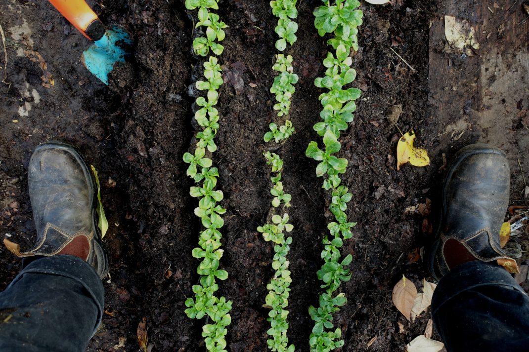 Planteringen sedd ovanifrån med tre täta rader av gröna blad.