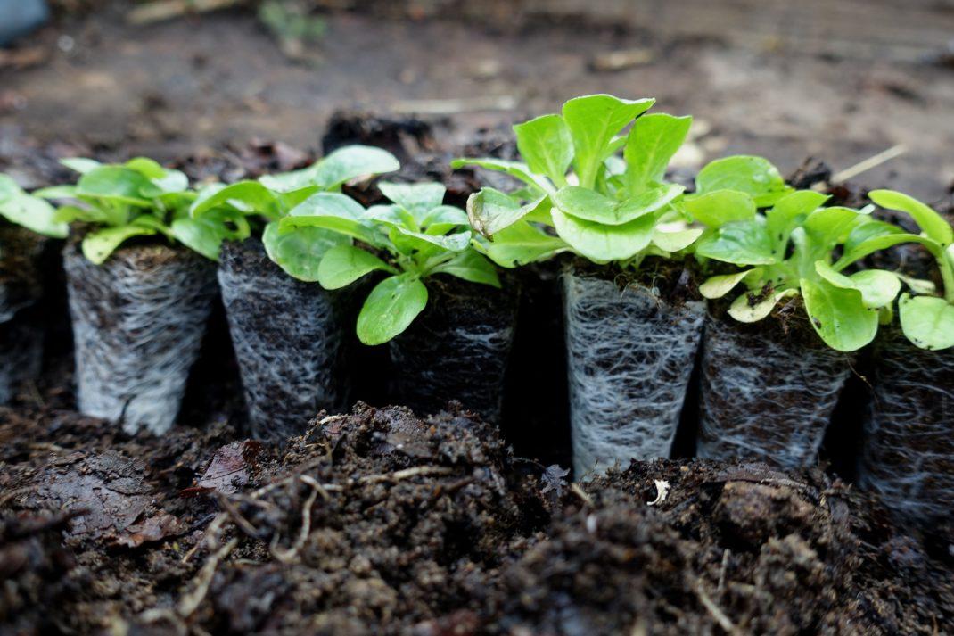 Närbild på uppradade pluggplantor i jorden.