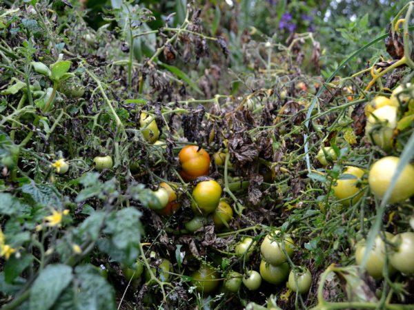 Tomater med mörkt brun blas.