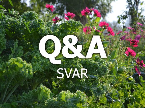 Vacker grönkål och rosa rosenskäror med texten Q&A svar över.