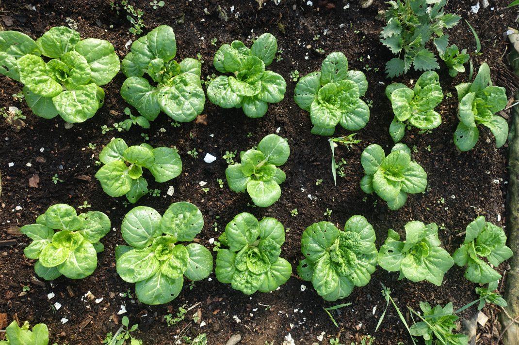 små plantor av pak choi växer som fina bladrosetter