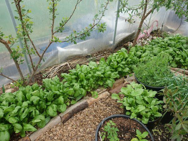 En yta i tunnelväxthuset full med gröna växter