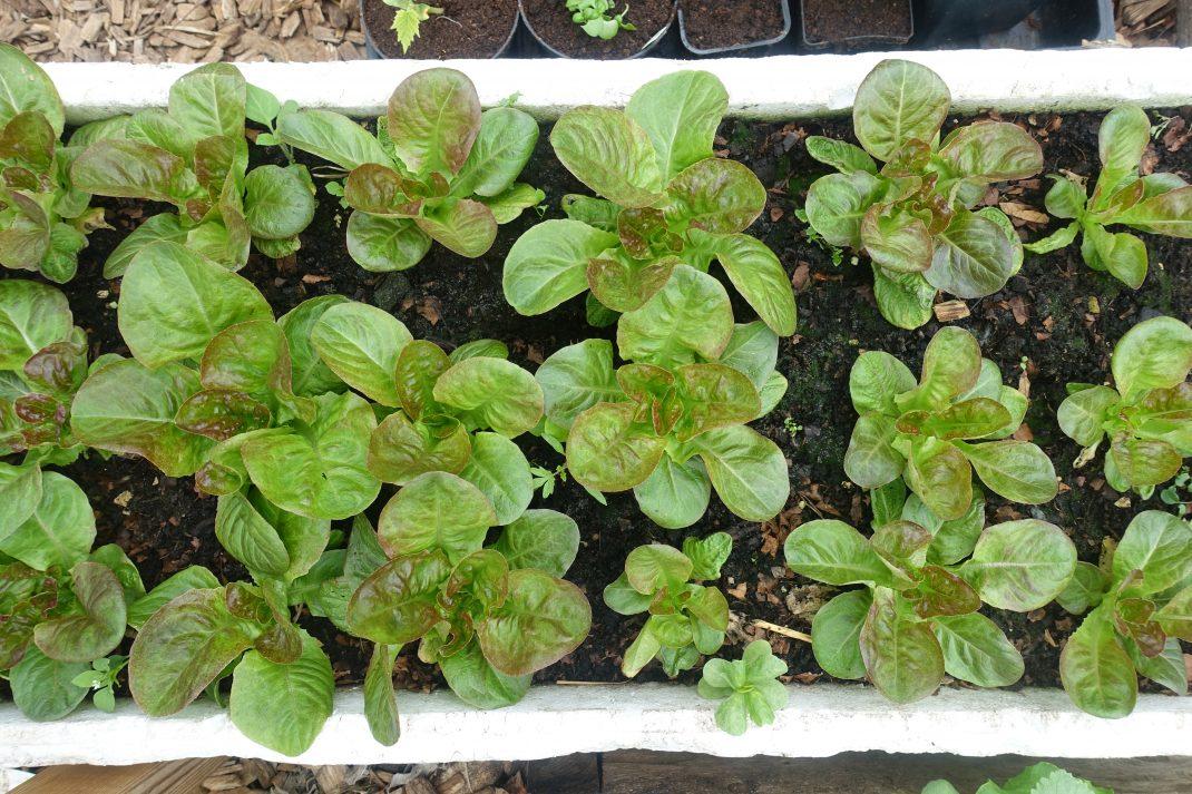 En frigolitlåda fotograferad ovanifrån med gröna plantor i.
