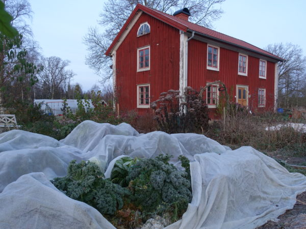 Kålkvarter i Skillnadens trädgård , täckt av kålnät