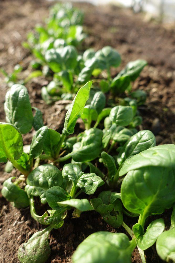 stående bild med späda vackra gröna spenatblad