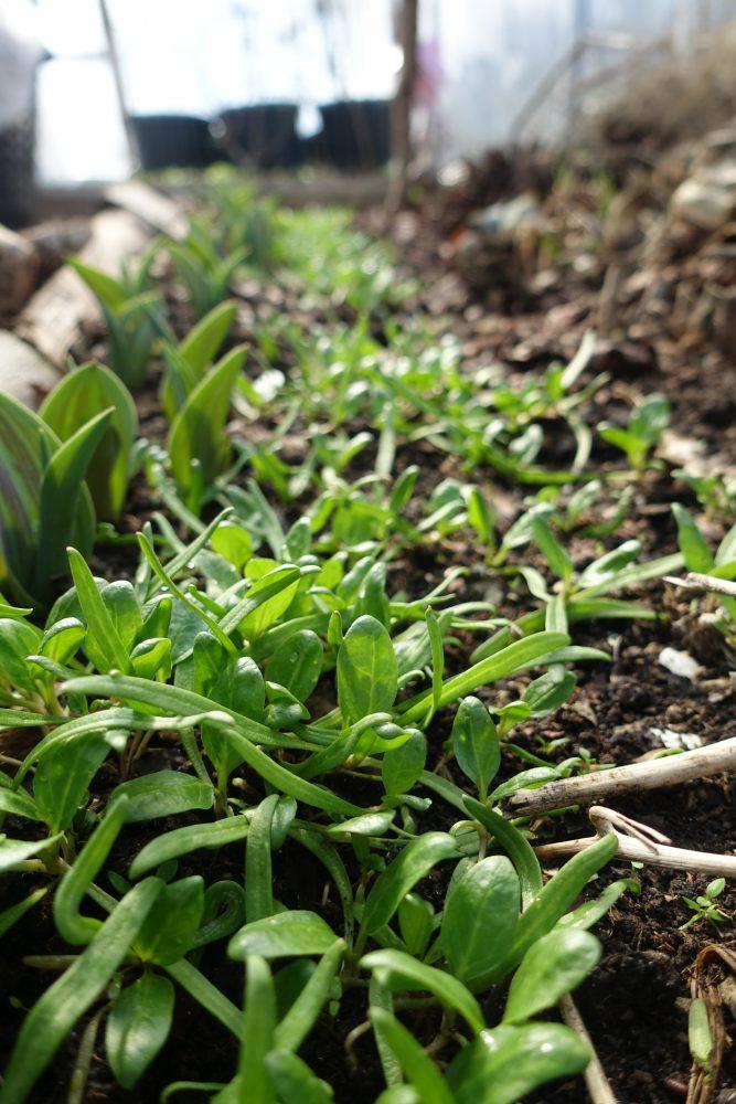 pyttesmå smala blad som nyligen grott, i ett vackert vårljus