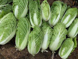 Femton perfekta huvuden av salladskål på hög.