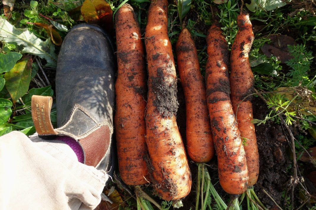 Vintermorötter på marken bredvid en jordig sko.