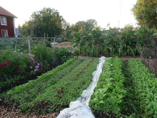 En illgrön del av köksträdgården, med mycket våtarv.