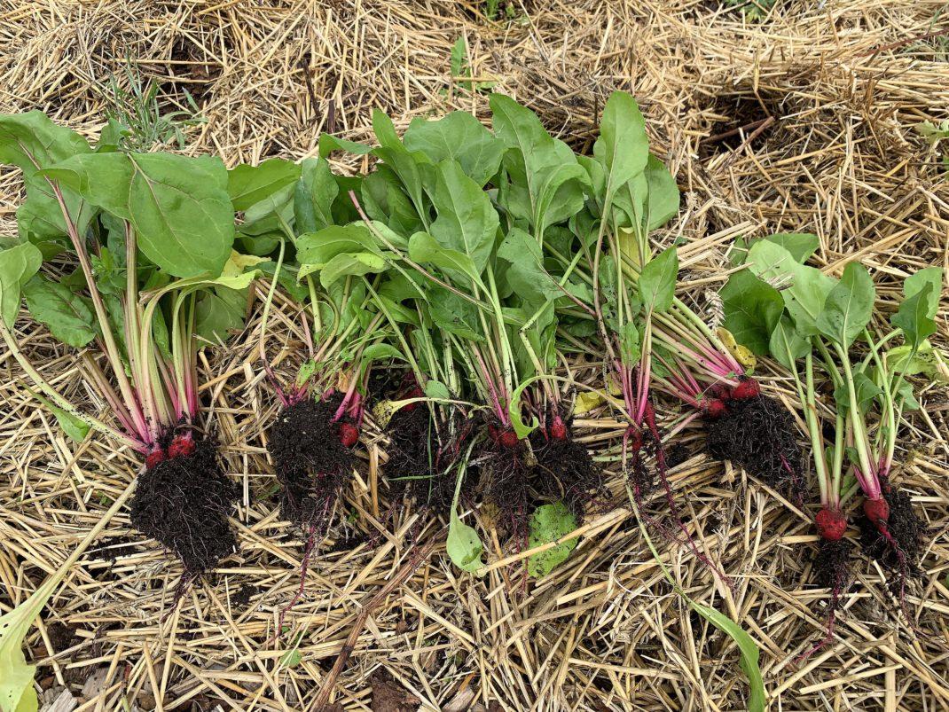 Små plantor av betor ligger i kluster på halm.