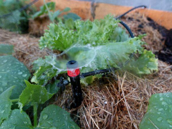 Gurkväxter som vattnar med en sprinkler.
