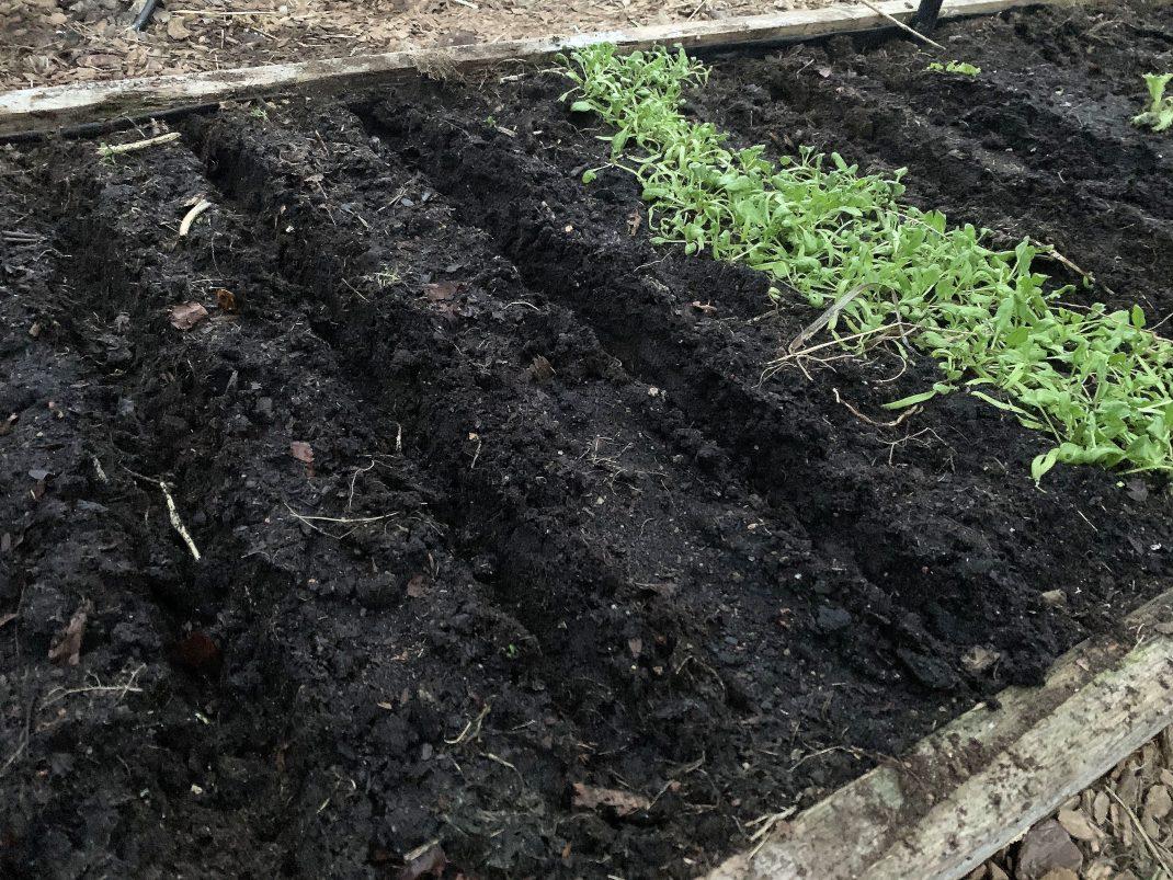 Närbild på odlingsbädden med uppdragna fåror och lite grön spenat i ena hörnet.