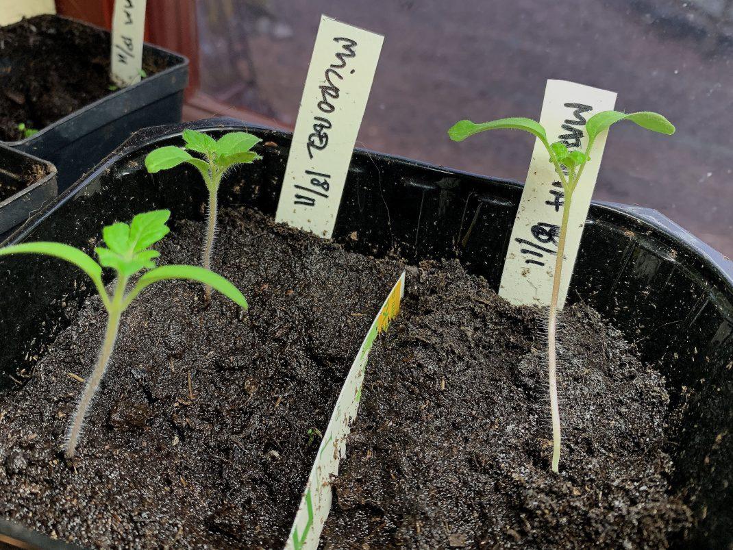 En frösådd av tomater med tre små plantor och plantetiketter.