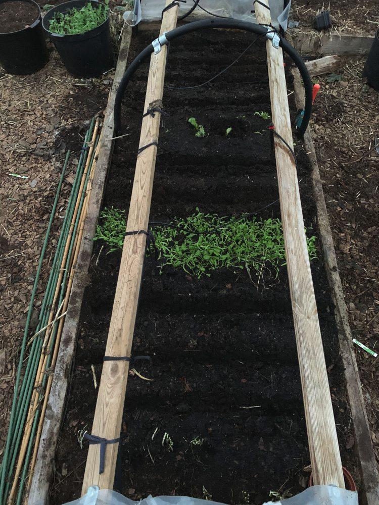 En odlingsbädd sedd ovanifrån, träflis i gångarna vid sidan om.