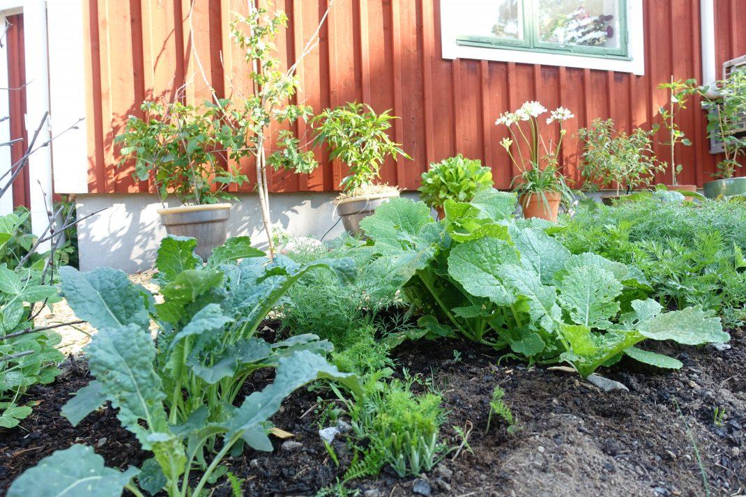 En odlingsbädd med bar jord och gröna växter.
