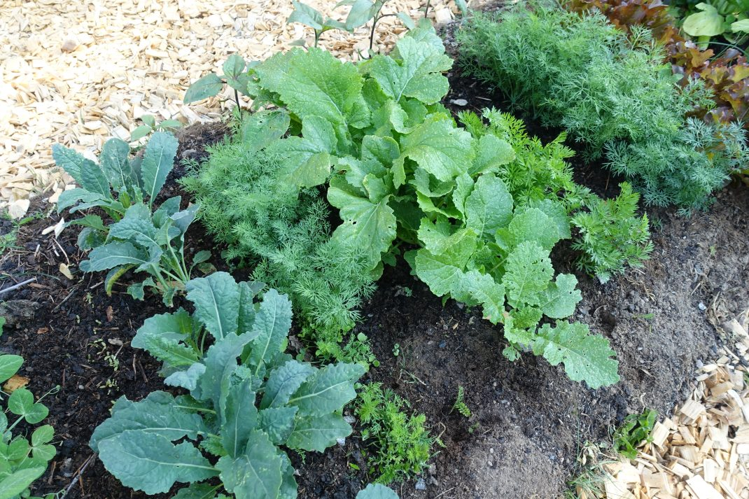 Frodiga bladgrönsaker på rad i jorden.