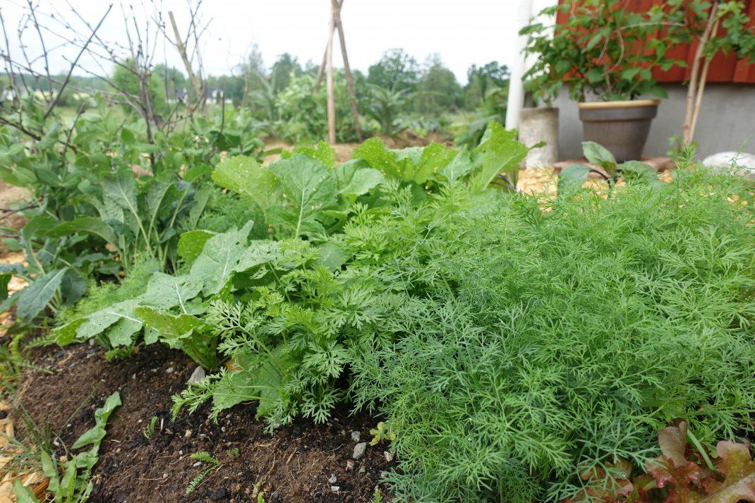 Närbild på frodiga grönsaker.