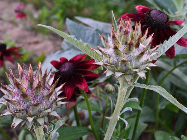 Vacker samplantering av kronärtskocka och sommarrudbeckior
