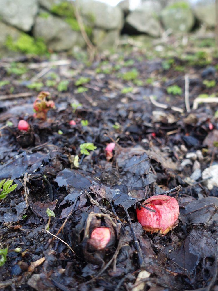 Rabarberknoppar tittar upp ur jorden.