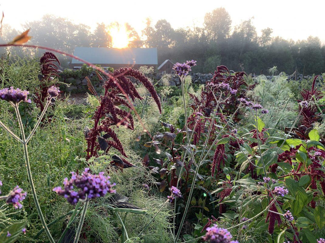 Drömsk trädgårdsbild. Red garnet amaranth, a dreamy garden.