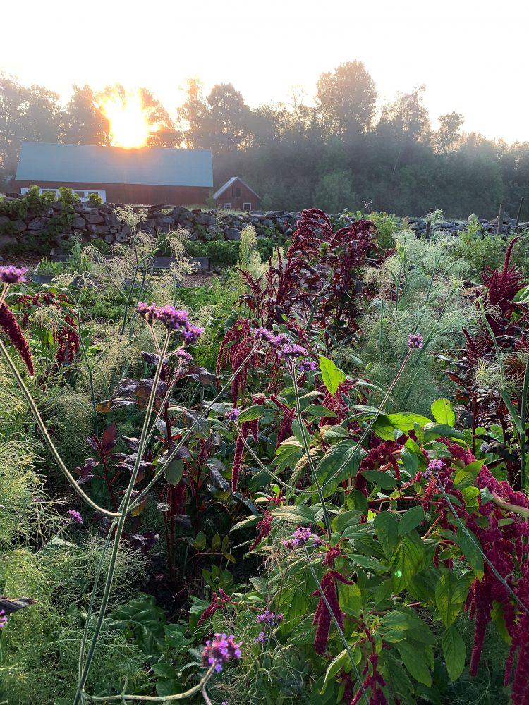 Samplantering i morgonljus med röda vippor från amaranten.