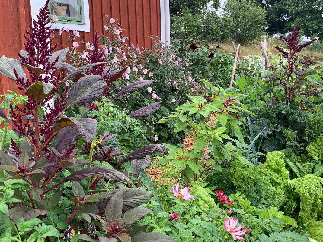 Samplantering med växter i olika färger och former. Amaranth, companion-planting them with other plants.