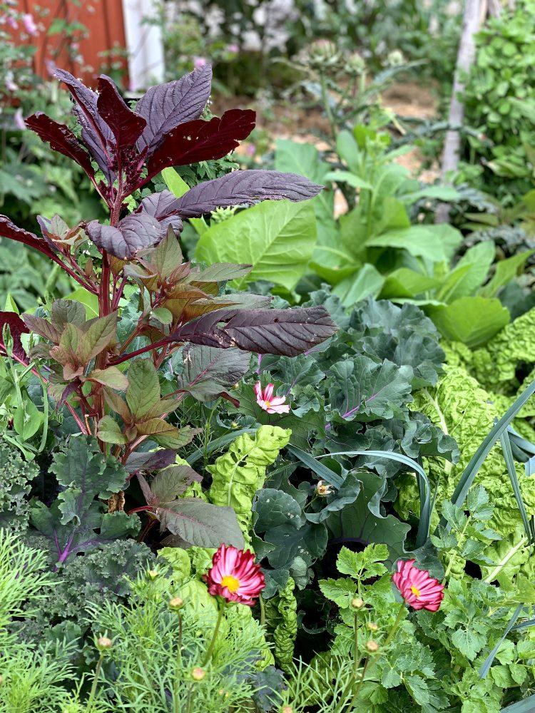 Närbild på växterna som växer tillsammans. Close-up of the plants growing with the amaranth Red Garnet.
