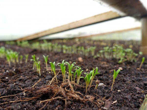 En rad med gröna små plantor under ett plastlock.