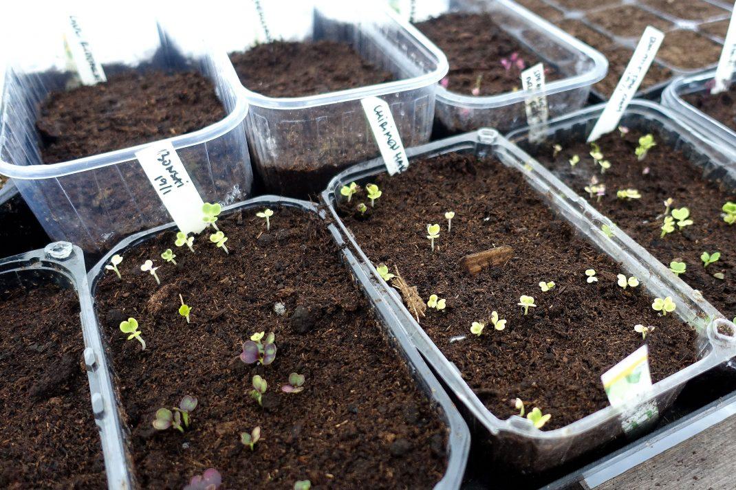 Små plastbyttor med jord och växter som grott.